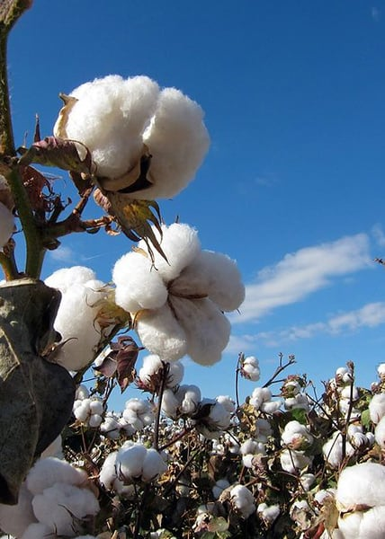 Cottoning on to quality